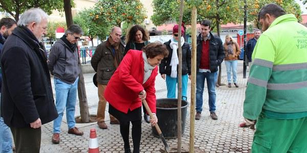 El Ayuntamiento continúa con la campaña de plantación de árboles en alcorques vacíos de toda la ciudad con nuevos ejemplares en una quincena de calles del Distrito Triana