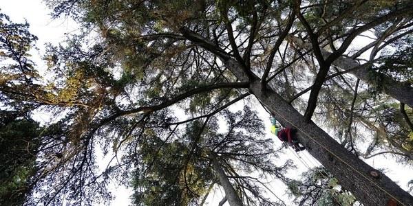 El Real Alcázar acomete trabajos especializados de podas en sus árboles más longevos y de mayor porte para conservar la riqueza natural de sus jardines con 183.500 euros de presupuesto