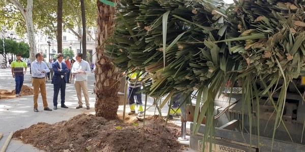 Plantación de palmeras en la Plaza Nueva